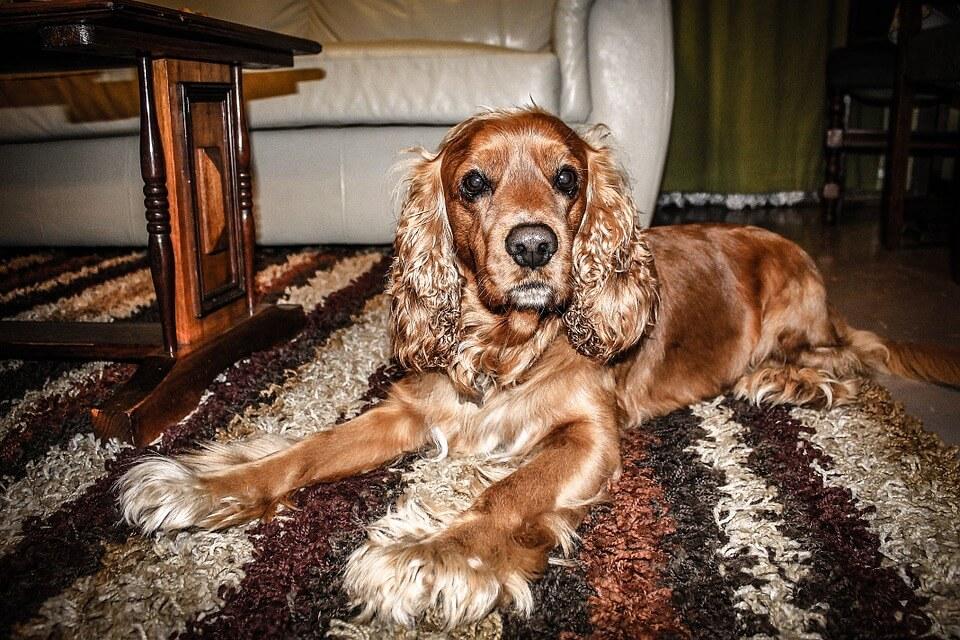 Családi kutyák - Cocker spániel