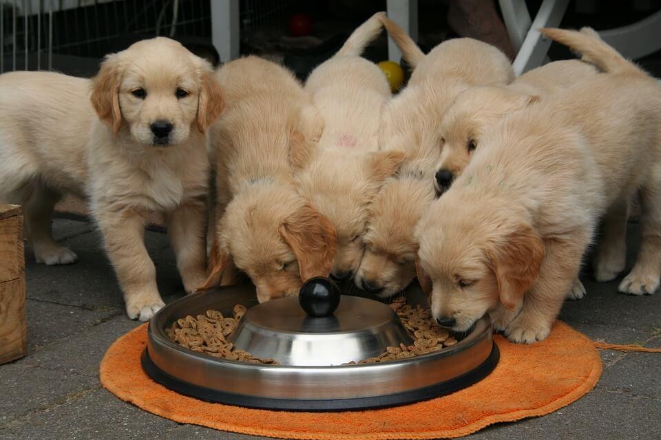 Kutya ivartalanítása: Golden retriever kölykök