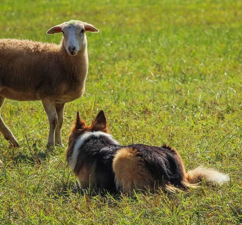 Munkakutyák-pásztor/juhászkutyák