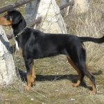 Erdélyi kopó – Magyar kutyafajták