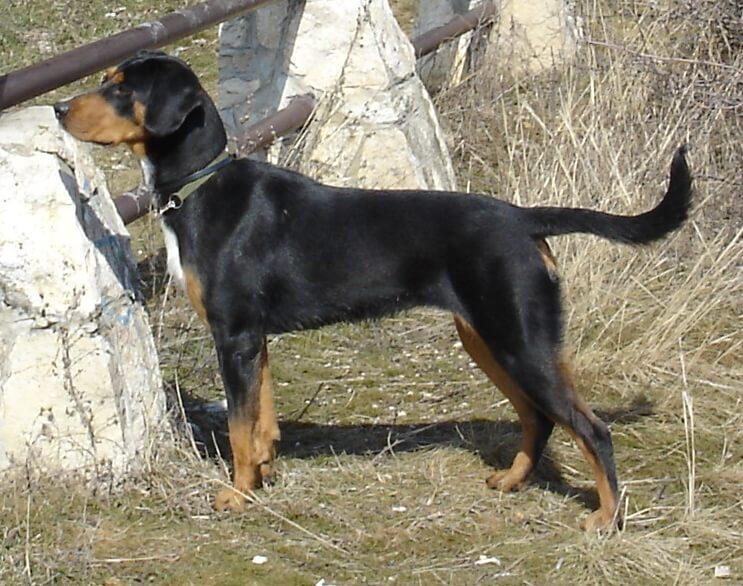 Magyar kutyafajták - Erdélyi kopó