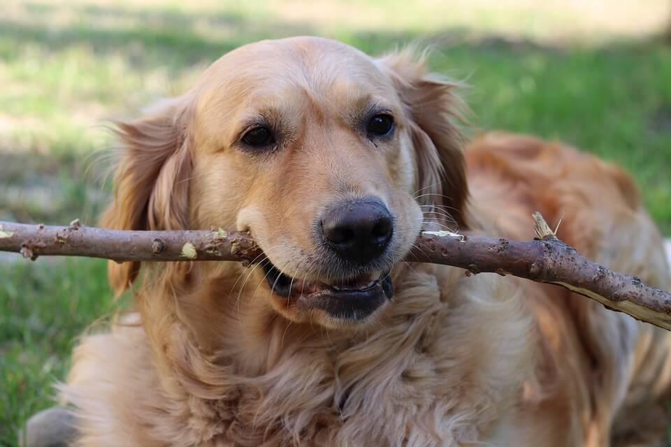 Családi kutyák - Golden retriver