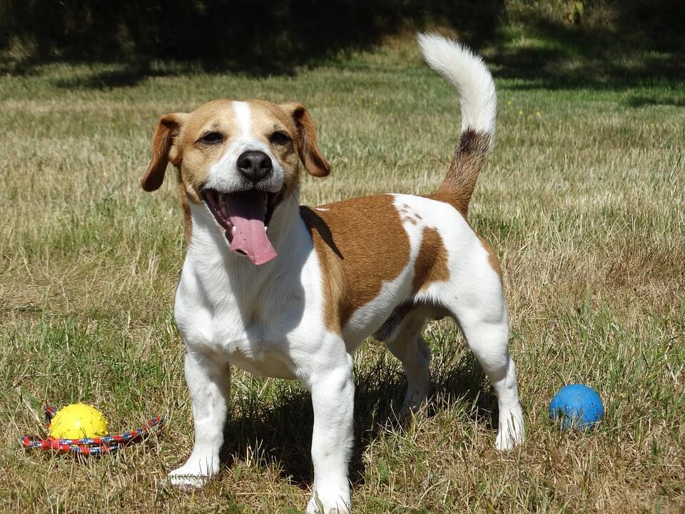 Családi kutyák - Jack russel