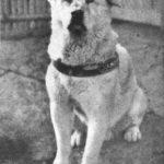 Híres kutyák – Hacsikó