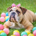 Kövér kutya, avagy miért nem jó, ha elhízik?