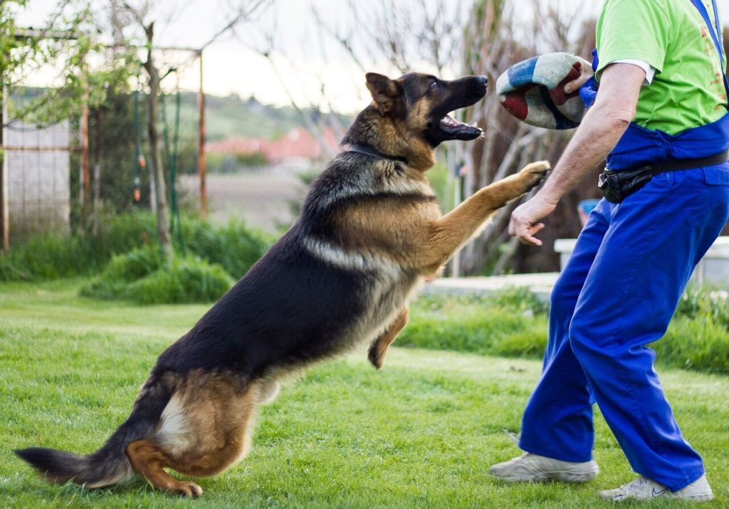 Kutya lefárasztása ösztönbeli - Németjuhász kutya