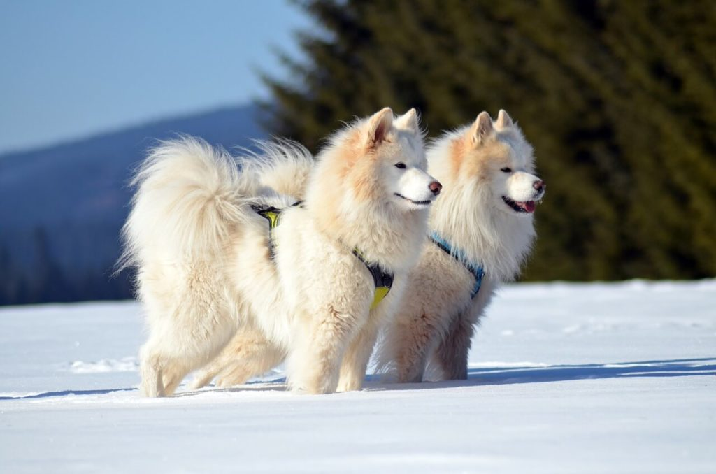 Fehér kutya nevek: Szamojed