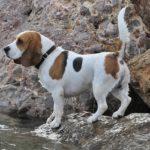 Beagle nevek, melyik illik hozzá a legjobban?