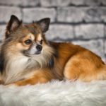Csivava nevek – Chihuahua nevek