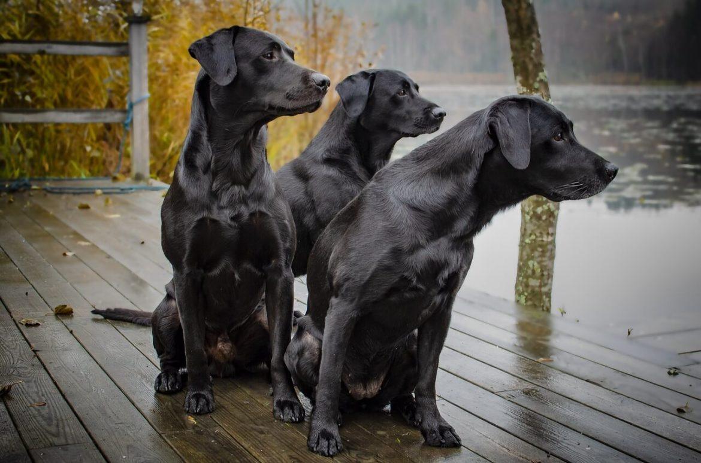 Fekete kutya