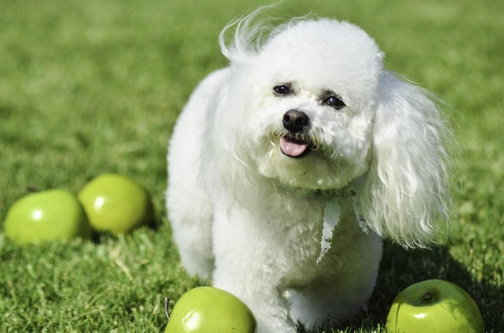 Bichon kutya nevek