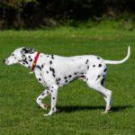 Dalmata kutya nevek