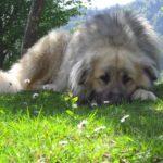 Kaukázusi juhászkutya nevek