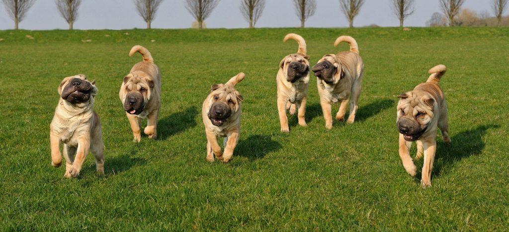 Sharpei kutya nevek