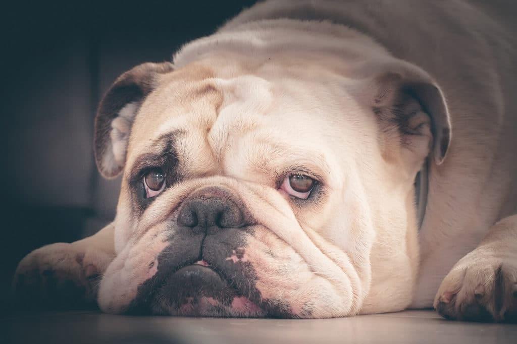 Angol bulldog nevek