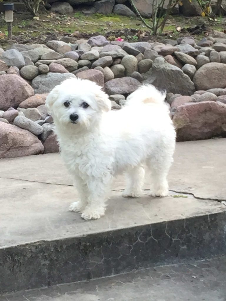 Fehér kutya nevek: Bolognese kutya nevek
