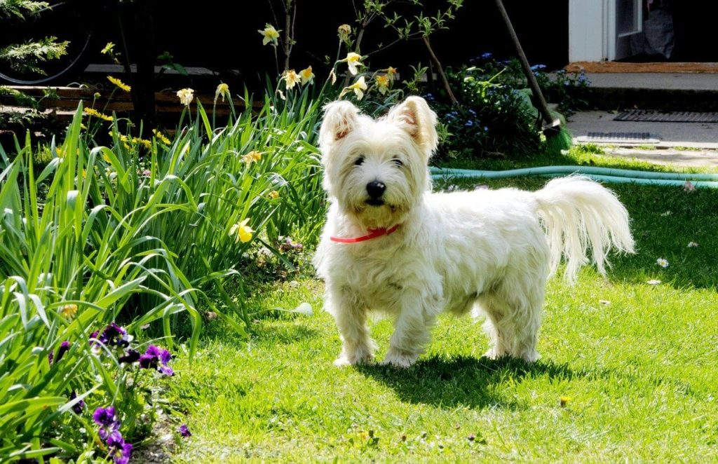 Westie kutya nevek