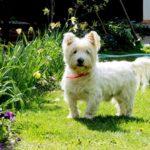 Westie kutya nevek, melyik illik hozzá a legjobban?