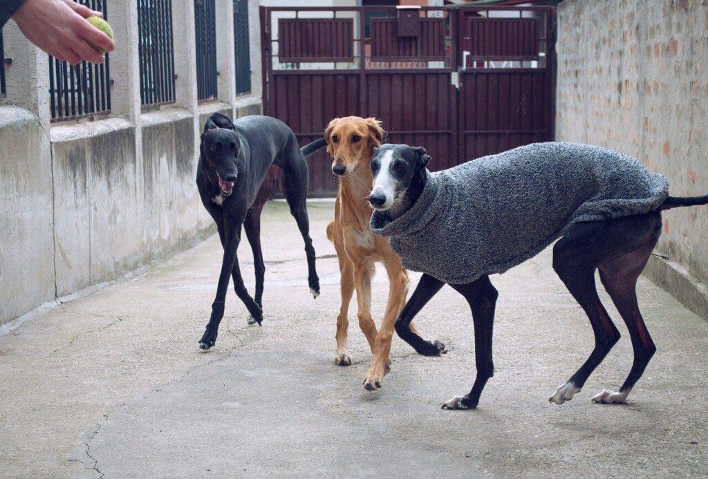 Spanyol kutyanevek