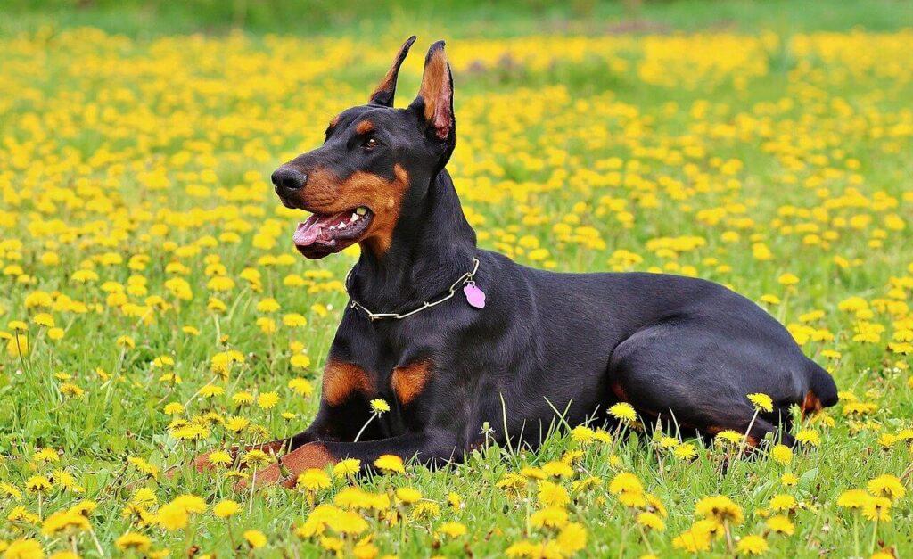 Dobermann kutya nevek